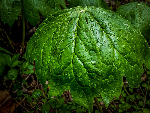plant rain forest umbrella leaf foliage moisture lehighvalley easton dltrail leaningladder
