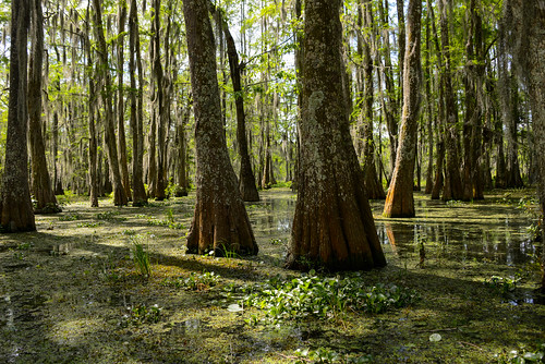usa us louisiana unitedstates swamp breauxbridge travelphotographer texaslouisiana carlolisa apr2016