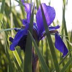 Iris sanguinea - 菖蒲(あやめ)- #2