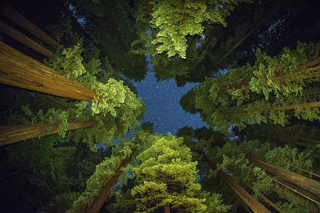 star trees Humboldt Redwoods - Explored