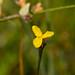 Xyris montana - Photo (c) Joshua Mayer, algunos derechos reservados (CC BY-SA)