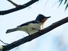 Satin Flycatcher (Myiagra cyanoleuca)