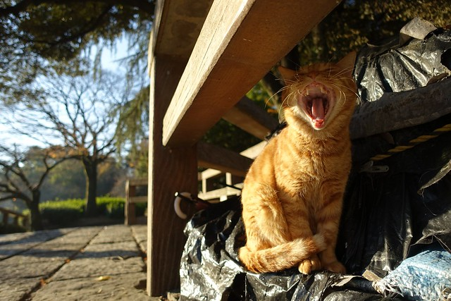 A threat(A cat in Mejo park 2014.12 No.1).