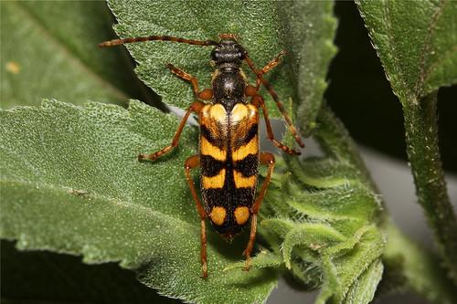 Xestoleptura crassipes (Flower Longhorn Beetle) | by Nick Dean1