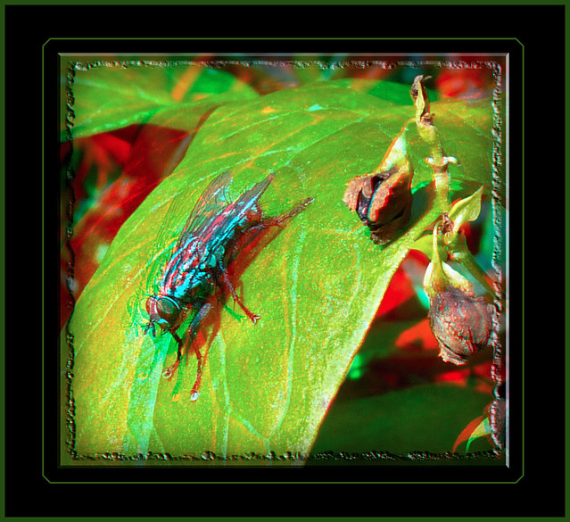 Sarcophaga, Flesh Fly on Leaf 1 - Anaglyph 3D