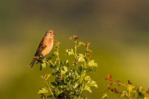 Male Linnet | by www.craigrogers.photography