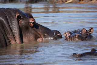 Hippopotamus | by martie1swart