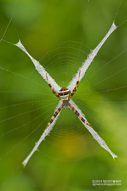 St Andrew's cross spider (Argiope versicolor) - DSC_9345b
