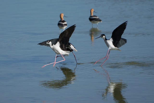 Black-necked stilts landing