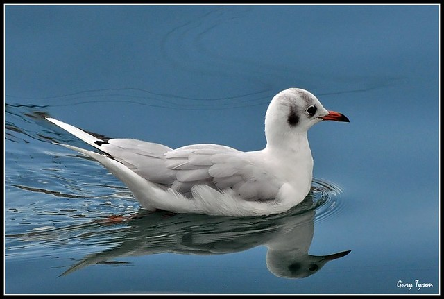 Black-headed Gull (winter plumage)