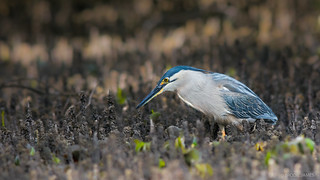 Striated Heron Foraging
