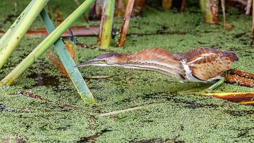 california birds northerncalifornia marincounty northbay leastbittern lasgallinas ixobrychusexcilis canoneos7dmarkii