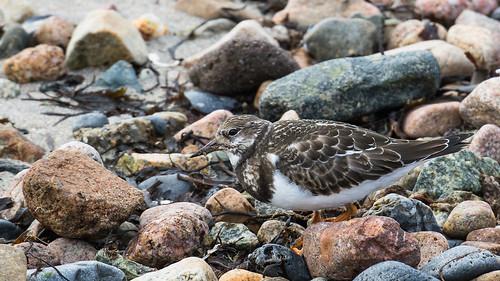 arenariainterpres countygalway europe galwaycity ireland republicofireland bird ruddyturnstone turnstone wader