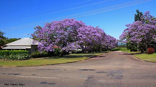 purple australia nsw jacaranda purpleflowers bignoniaceae jacarandamimosifolia kempsey midnorthcoast purplefloweringtrees purplefp 13112015 cnrwideandriverstreets