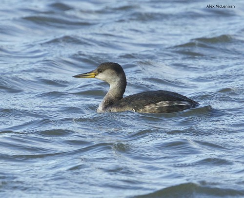 Red Necked Grebe | by large.copper
