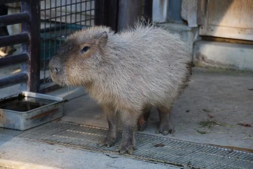カピバラ Capybara   by CapybaraJP