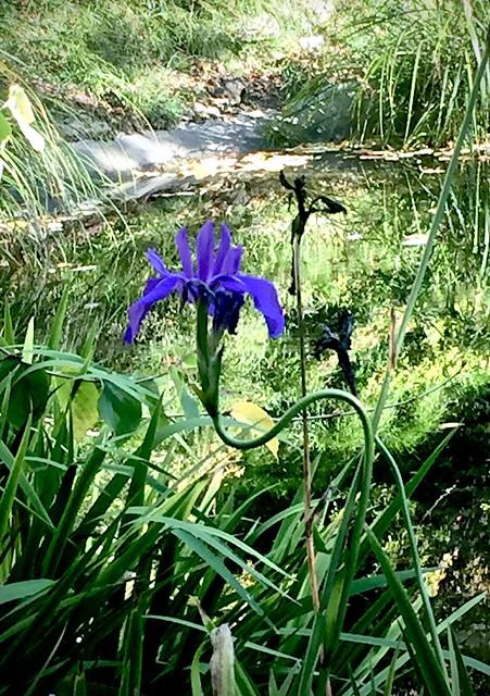 Berkeley iris