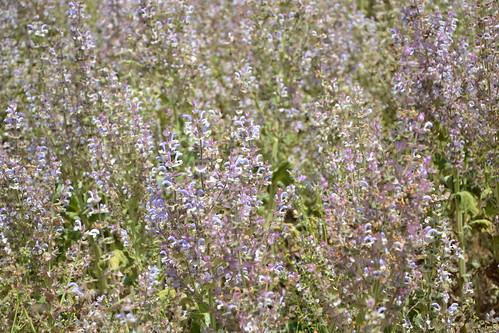 Salvia sclarea - sauge sclarée 32079235834_9c4179c3d8