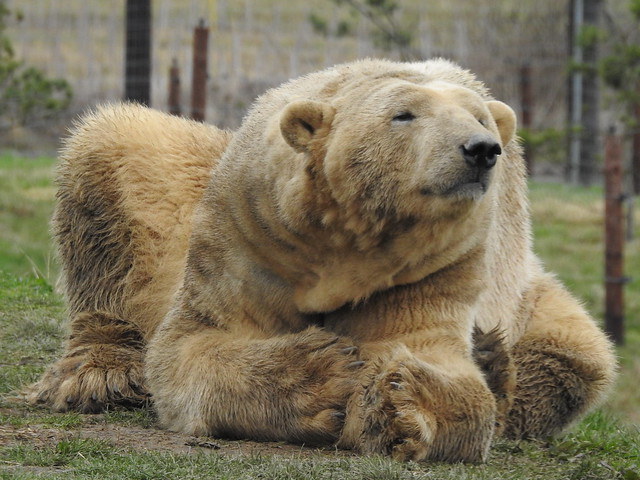 On International Polar Bear Day my absolute favourite, big awesome Victor! (explored)