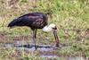 Woolly-necked Stork by rhysmarsh