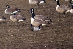 Brant, Yellow Creek State Park, Indiana Co., PA, 11/4/2014