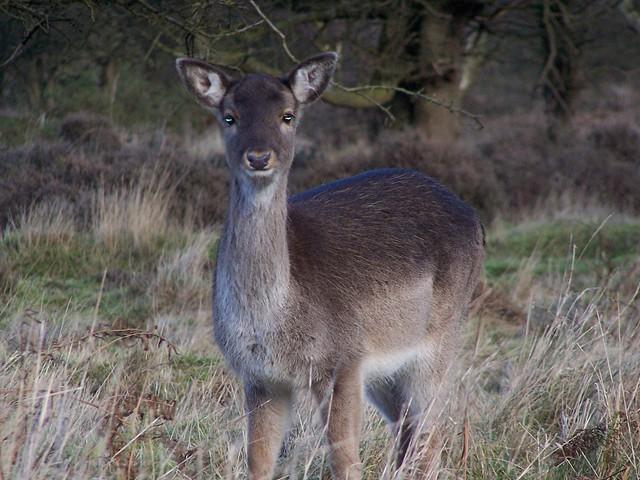 Fallow Deer Female