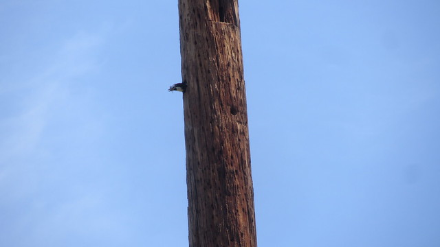 IMG_4352 SBMNH acorn woodpecker on pole and trees