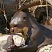 Flickr photo 'Giant Otter (Pteronura brasiliensis) eating a Vermiculated Sailfin Catfish (Pterygoplichthys disjunctivus)' by: berniedup.