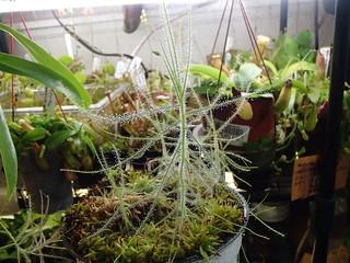 B. liniflora | by hawken.carlton