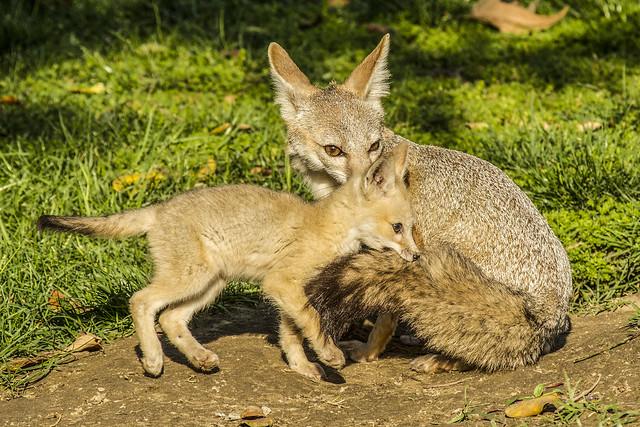 San Joaquin Kit Fox Kit Grabbing Mother's Tail