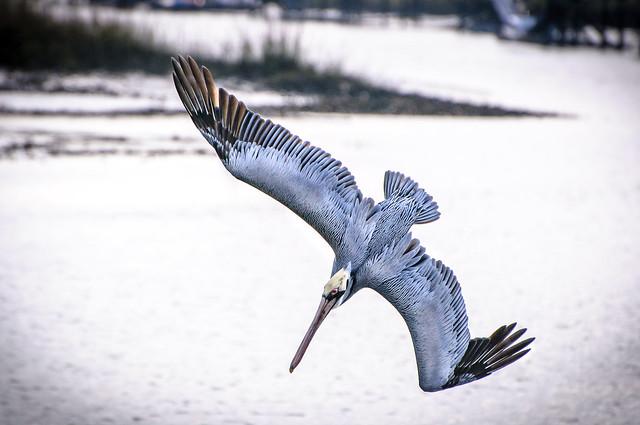 Pelican - Swamps near Charleston