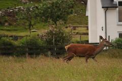 Lochranza deer