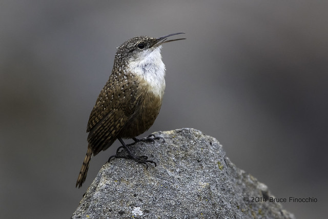 Canyon Wren Sings Its Warbly Song