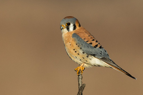 American Kestrel (male) | by Eric SF