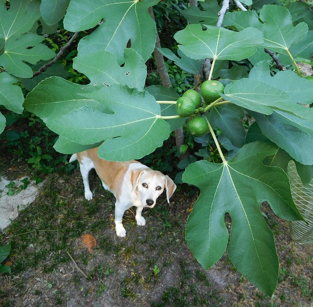 Rosie, those figs are not ripe.