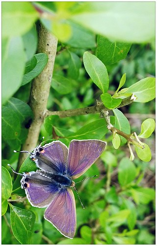 blue plant green nature butterfly blackberry lepidoptera z10 lycaenidae bb10