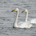 Cisne-bravo - Cygnus cygnus - Whooper swan