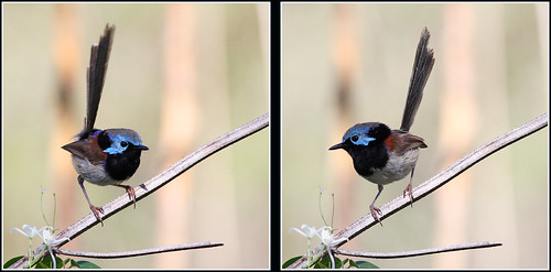 Variegated Fairy-wren, sub-adult male | by Thanks for 4 million views
