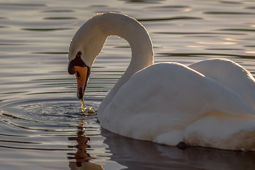 bird nature water swan reserve ripples rodley