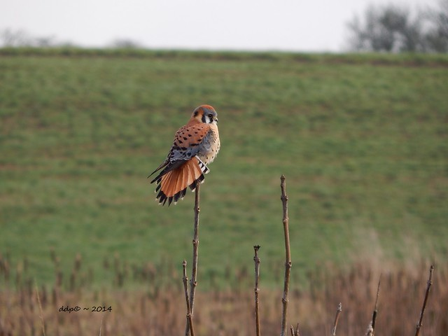 American Kestrel with Gorgeous Tail Fanned Out