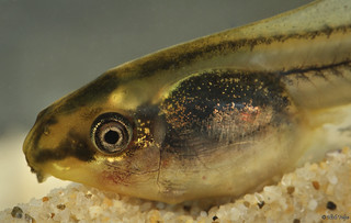 Peron's Tree Frog tadpole (Litoria peroni) | by Nick Volpe