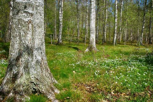 wood trees tree nature forest spring grove sweden wildlife sony natur anemone vegetation birch sverige västergötland eahagen sonya77ii sonyilca77m2 sonya77mark2