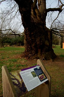 Kew oldest tree | by Teo_M