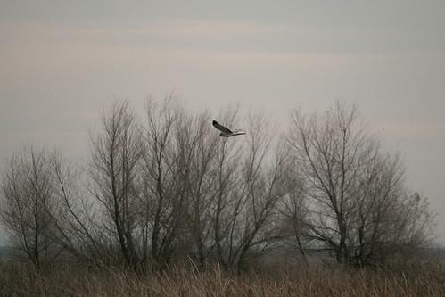 northernharrier yolobypass