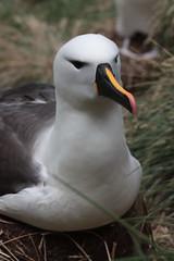 Albatros � bec jaune