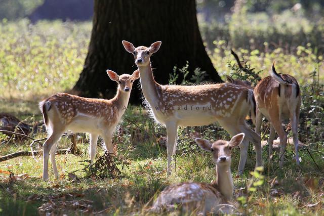 Fallow Deer  (Dama dama) - Norfolk