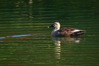 Eastern Spot-billed Duck (Anas zonorhyncha)   by harum.koh