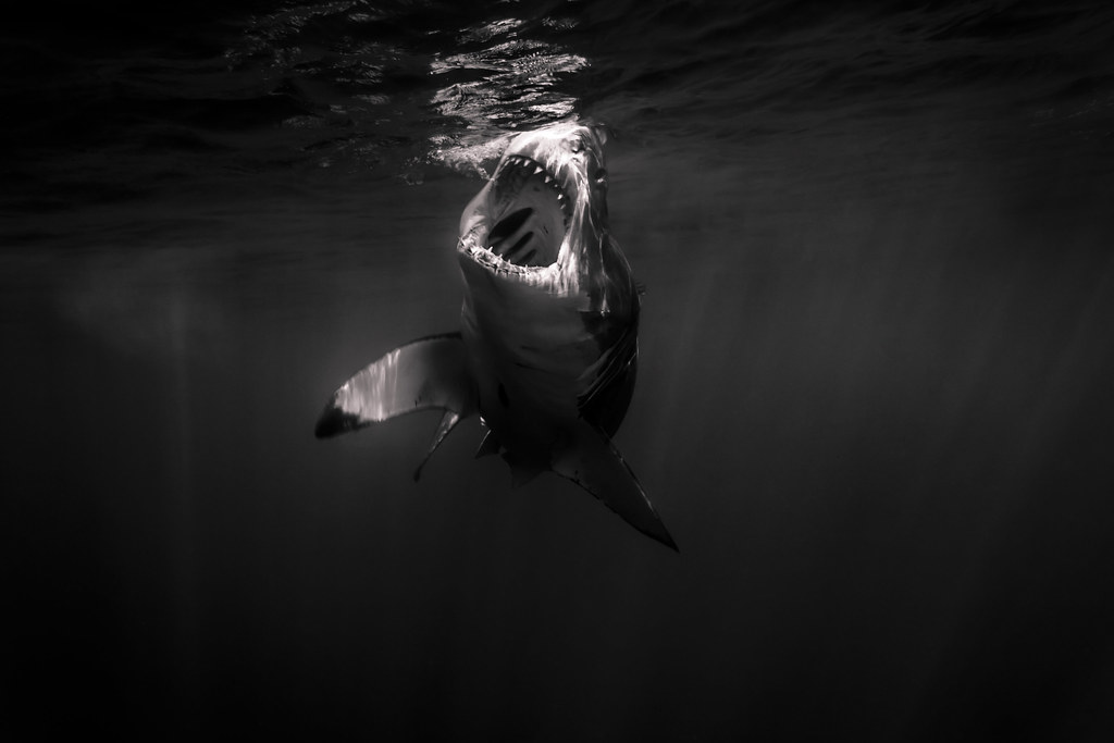 Open jaws at the surface (B&W) by George Probst