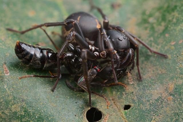 Zodariid spider with matabele ant prey