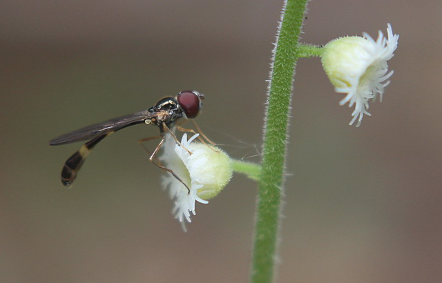 Miterwort and Wasp or wasp mimic